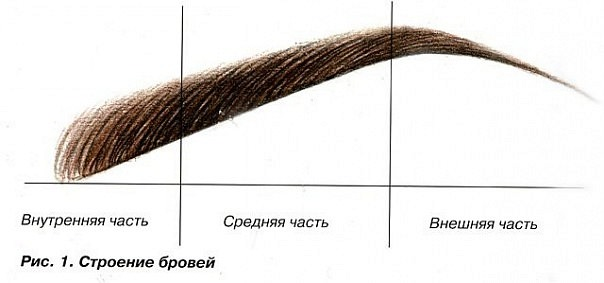 Строение бровей