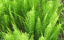 Лечебные свойства полевого хвоща – правила применения, рецепты и отзывы